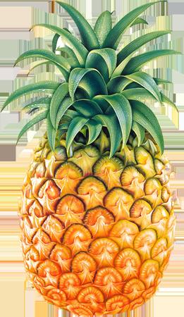 Pineapple Eleuthera Islands of The Bahamas Caribbean Vector Graphic Image Branding The Bahamian Studio Graphic Design Flyers Logos Printing Marketing Nassau Bahamas