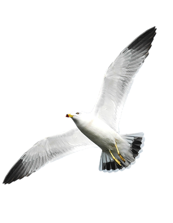 Seagull Bird Caribbean Vector Graphic Image Branding The Bahamian Studio Graphic Design Flyers Logos Printing Marketing Nassau Bahamas