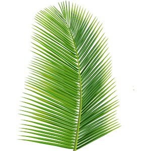 Coconut Tree Leaf Goodmans Bay BeachIslands of The Bahamas Caribbean Vector Graphic Image Branding The Bahamian Studio Graphic Design Flyers Logos Printing Marketing Nassau Bahamas