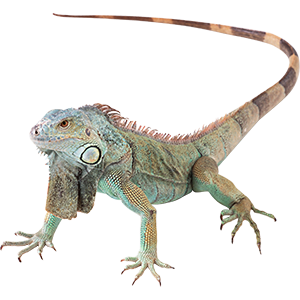 Iguana Goodmans Bay Beach Islands of The Bahamas Caribbean Vector Graphic Image Branding The Bahamian Studio Graphic Design Flyers Logos Printing Marketing Nassau Bahamas