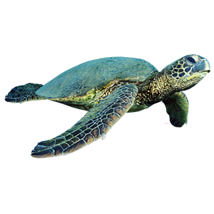 Turtle Goodmans Bay Beach Islands of The Bahamas Caribbean Vector Graphic Image Branding The Bahamian Studio Graphic Design Flyers Logos Printing Marketing Nassau Bahamas