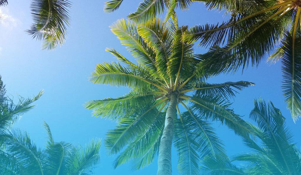 Coconut Trees Aerial Canopy Eleuthera Cave Islands of The Bahamas Caribbean Vector Graphic Image Branding The Bahamian Studio Graphic Design Flyers Logos Printing Marketing Nassau Bahamas